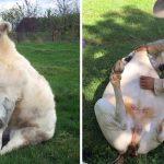 20 นุ้งวัวผู้น่ารักที่คิดว่าตัวเองเป็นสุนัข เลยทำทุกอย่างเหมือนเหล่ามะหมาไม่มีผิด
