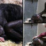 ชิมแปนซีที่กำลังจะตาย สุดตื้นตัน เมื่อเพื่อนรักมาเยี่ยม และบอกลามันเป็นครั้งสุดท้าย