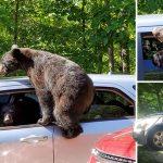 หนุ่มถึงกับช็อก!! เมื่อมีครอบครัวหมีพยายามจะขโมยรถของเขา หลังจอดทิ้งไว้แป๊บเดียว