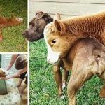 ลูกวัวโตมากับสุนัข เลยติดพฤติกรรมแบบมะหมา จนไม่อยากกลับไปเป็นวัวอีกแล้ว