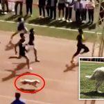 หมาจรโผล่แจมการวิ่งแข่ง 100 เมตรของมหาวิทยาลัย…คว้าตำแหน่งที่ 2 ไปแบบงงๆ