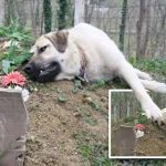 เจ้าหมาไปนอนซบหลุมศพเจ้าของทุกครั้งที่ไปเยี่ยมสุสาน มันยังรักเขาอยู่เหมือนเดิม