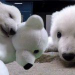 หมีขั้วโลกน้อยขโมยหัวใจทุกคนที่ดูแลมัน หลังถูกแม่ทิ้งตั้งแต่อายุเพียง 6 วัน