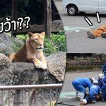 """อย่างฮา เมื่อสวนสัตว์ญี่ปุ่นทำการซ้อมรับมือ """"สิงโตหลุด"""" โดยใช้คนใส่ชุดมาสคอตแทน"""