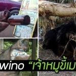 หมูป่าป่วนนักแคมป์ ขโมยเบียร์ 18 กระป๋องไปดื่มกินจนเมา แล้วยังไปหาเรื่องวัวอีก!!