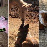 พี่หมาไม่อยากให้ลูกม้ากำพร้าเหงา เลยออกมานอนในคอกม้าเป็นเพื่อน