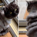 คุณพ่อพาแมวไปตัดขน บอกช่างให้ตัดลายเหมือนเสือ ออกมาเป็นตัวอะไรก็ไม่รู้วววว!?
