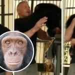 ลิงชิมแปนซีดีใจมาก ได้เจอหน้าคนที่เคยช่วยมัน รีบเข้าไปโอบกอดเขาด้วยความคิดถึง