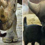 แมวเหมียวเข้าไปอยู่กับเหล่า 'แรดดำ' เพื่อปกป้องพวกมันจนกว่าจะดูแลตัวเองได้