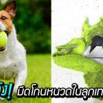 มีผู้ไม่หวังดีทิ้งลูกบอลติดใบมีดทิ้งไว้ให้สุนัขเล่น เจ้าของสุนัขทั้งหลายควรระวัง!!