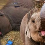 ช้างน้อยเข้ารักษาไวรัสร้าย แม้โอกาสไม่หายมาก แต่ทีมแพทย์ก็ช่วยมันได้