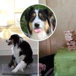 """นี่คือ """"Secret"""" สุดยอดน้องหมามากความสามารถ ให้ทำอะไรก็ทำได้ เล่นตึกถล่มยังได้เลย!!"""