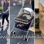 แมวในศูนย์ติดการเดินเล่นในรถเข็นเด็ก ลั่น!! ใครจะรับเลี้ยง ต้องเอารถเข็นมันไปด้วย