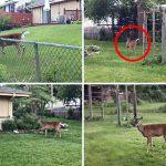 ตูบเจอกวางเพื่อนใหม่ที่โดดข้ามรั้วเข้ามาหา เลยชวนมันวิ่งเล่นในสวนหลังบ้าน