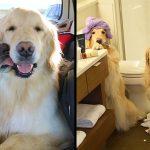 หมาโกลเด้นแสนดี เป็นหมานำทางให้กับเพื่อนหมาตาบอด อยู่ข้างกันตลอดทุกเวลา