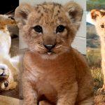 มาดูความน่ารักของเจ้า 'Bahati' สิงโตต้นแบบของเจ้า Simba จากเรื่อง Lion King