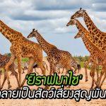 'ยีราฟมาไซ' ถูกจัดให้เข้าไปอยู่ในกลุ่ม สัตว์เสี่ยงสูญพันธุ์ หลังประชากรลดลงเกือบครึ่ง!!