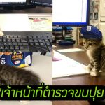 'ลูกแมวถูกทิ้ง' กลายเป็น 'เจ้าหน้าที่ตำรวจขนปุย' คอยแจกความสดใสในสำนักงาน
