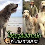 รวม 20 ภาพความ 'ใหญ่โตมโหฬาร' ของสุนัข 'ไอริชวูล์ฟฮาวด์' ดูยังไงก็ใหญ่จนน่าทึ่ง!!