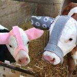 ชาวเน็ตชื่นชมเกษตรกรดีเด่น ทำที่ครอบหูอุ่นให้เหล่าวัวน้อย ปกป้องน้องจากความหนาว