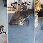 """สอง """"เพนกวิ้นน้อย"""" บุกเข้าร้านซูชิ หวังขโมยปลา โดนตำรวจจับได้ก่อนหลบหนี"""