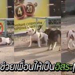 หมาจรผ่านมาเห็นเพื่อนหมาถูกล่าม เลยหยุดช่วยมอบอิสระให้กับเพื่อนใหม่