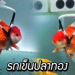 แฟชั่นดีไซเนอร์หนุ่ม สร้าง 'รถเข็นปลาทอง' เพื่อทำให้ปลาทองป่วยของเขาอายุยืน