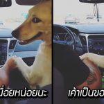 หมาโกลเด้นแย่งหญิงสาวนั่งข้างคนขับ เพราะมันอยากจับมือกับแฟนหนุ่มของเธอ