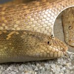 'Arabian Sand Boa' งูจริงหน้าตาเหมือนตัวการ์ตูน หรือนี่จะเป็นงูหน้าเด๋อที่สุดในโลก!?