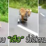สองหนุ่มเกือบไม่รอด!! เมื่อ 'เสือ' โผล่วิ่งตามหลัง ขณะไปขี่มอเตอร์ไซค์เล่นในป่า