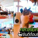 พบกับ 'คาเฟ่แมวที่มีคลาสโยคะ' เป็นบริการเสริม ให้คุณผ่อนคลายพร้อมเจ้าก้อนขนปุย