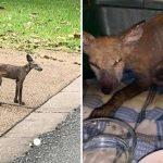 'หมาจิ้งจอก' เป็นโรคผิวหนังหนักมาก จนไม่มีขนเหลือ ทำเอาคนคิดว่าเป็น 'หมาขี้เรื้อน'