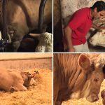 วัวถูกขังมาทั้งชีวิต หยุดตื่นเต้นไม่ได้เมื่อได้รับอิสระ และไม่ลืมที่จะขอบคุณผู้ช่วยชีวิตด้วย