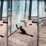 ลิงสวนสัตว์ฉลาดเป็นกรด ใช้หินต่างเครื่องมือ ทุบกระจกกั้นกรงจนร้าวไปทั้งใบ