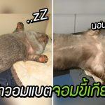 'Phoenix' วอมแบตจอมขี้เกียจ ชอบนอนหงายพุงกินอาหาร กินอิ่มก็รวดนอนเลย