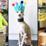 หมาเกรย์ฮาวด์เซเลบ มาพร้อมกับชุดสีสันสดใส ดังได้เพราะความน่ารักล้วนๆ