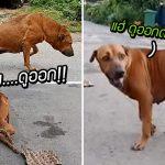 เจ้าหมาทำตัวน่าสงสารมีสภาพขาหัก แท้จริงแล้วเป็นแผนเจ้าเล่ห์ ออดอ้อนขอข้าว!!