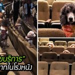 ครูฝึกพา 'สุนัขบริการ' ไปดูการแสดง เพื่อฝึกให้พวกมันเรียนรู้การมีมารยาทในโรงหนัง