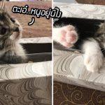ทาสนึกว่าแมวหาย ตามหาซะให้วุ่น ที่แท้แอบมุดอยู่ในกล่องข้างๆ นี่เอง ซนจริงๆ!!