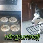 หมาไซขโมยกินคุกกี้ในครัว แต่ทำเป็นไม่รู้ไม่ชี้ มันคงเนียนมากถ้าไม่มีหลักฐานติดตัวอยู่