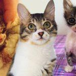 จากมิ้วน้อยที่ร้องขอความช่วยเหลือในวันนั้น กลายเป็นแมวหนุ่มรูปหล่อที่ใครๆ ก็อยากรัก