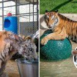 'เสือ' ที่ถูกละเลยในโรงละครสัตว์ เปลี่ยนไปอย่างน่าทึ่ง หลังได้รู้จักกับความรักที่แท้จริง
