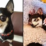 หมาชิวาว่าตัวน้อย เห่าปกป้องเจ้านายจากโจรลักพาตัว ยอมเอาชีวิตเข้าแลก