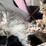 แม่แมวท้องแก่ได้รับการช่วยเหลือทันเวลา มันจึงได้คลอดลูกน้อย 8 ตัวในที่ปลอดภัย
