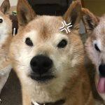 หมาชิบะตัวนี้ ไม่ว่าจะเมื่อไหร่ก็ชอบทำหน้าบึ้ง แต่นั่นคือเสน่ห์ที่ทำให้ชาวเน็ตหลงรัก!!