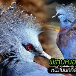 รู้จักกับ 'พิราบหงอนวิคตอเรีย' นกขนาดใหญ่ผู้ครองตำแหน่งหนึ่งในนกที่สวยที่สุดในโลก