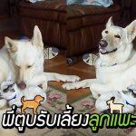 แม่หมาคิดถึงลูกๆ ที่ถูกรับเลี้ยงไป มันจึงรับเลี้ยง 'ลูกแพะกำพร้า' และเติมเต็มให้กันและกัน