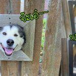 เพื่อนบ้านของหญิงสาว ทำหน้าต่างเล็กๆ บนรั้วไว้สำหรับเจ้าหมา บอกเลยว่าแจ่มสุดๆ