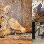 หญิงมารู้ทีหลังว่าหมาจรแถวบ้าน ที่แท้เป็นหมาป่าไคโยตี้ แต่ยังยืนยันจะช่วยมัน