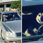 หมาไซสุดป่วนก่อเรื่องอีกแล้ว ทิ้งไว้บนรถแป๊บเดี๋ยว ถอยรถเอาท้ายไปชนซะงั้น!?